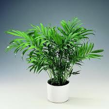 Chamaedorea Elegans, Kantoorplanten, Kantoorbeplanting