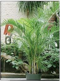 Chrysalidocarpus, Kantoorbeplanting, Kantoorplanten