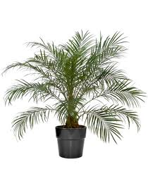 Sierlijke Dadelpalm, Kantoorplanten