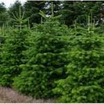 Echte kerstbomen; de Nordmann